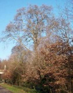 Il platano di Vaprio è albero monumentale